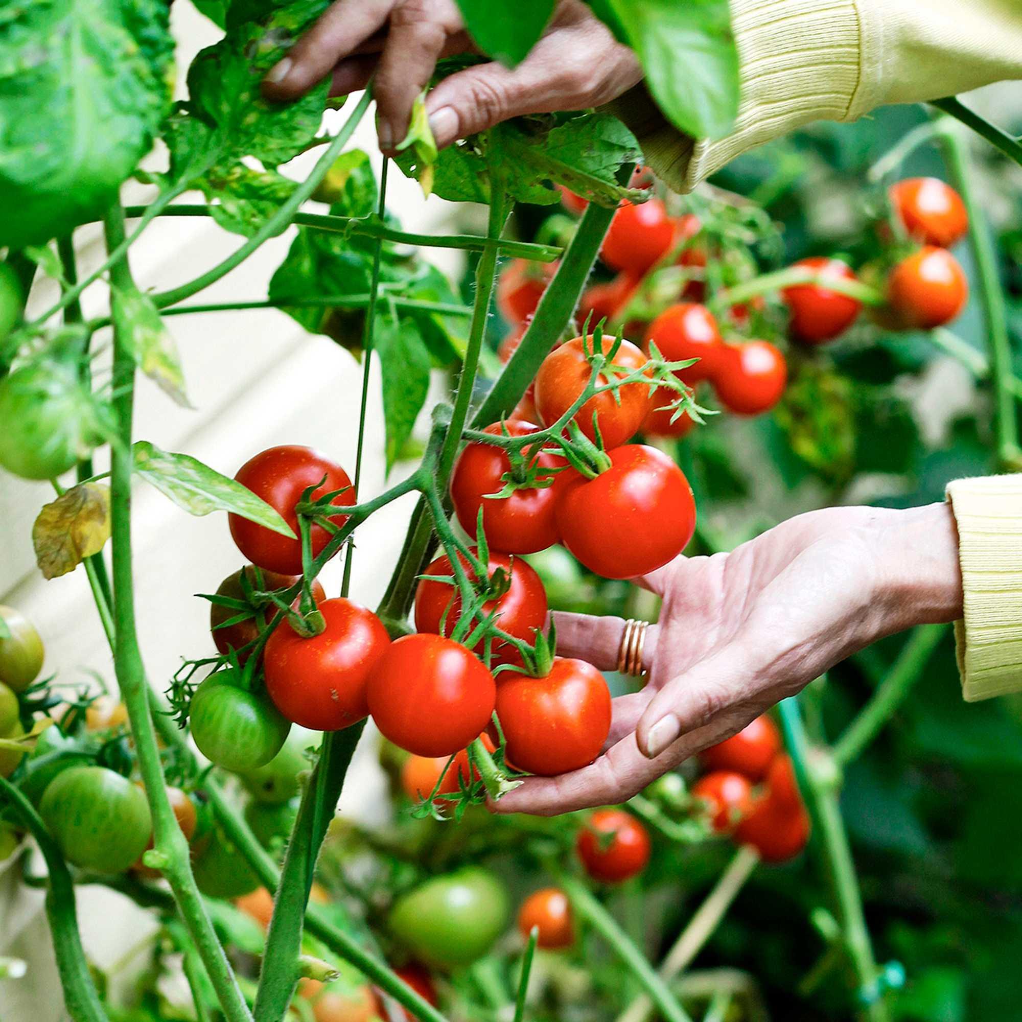 Tomaatti Kasvatus