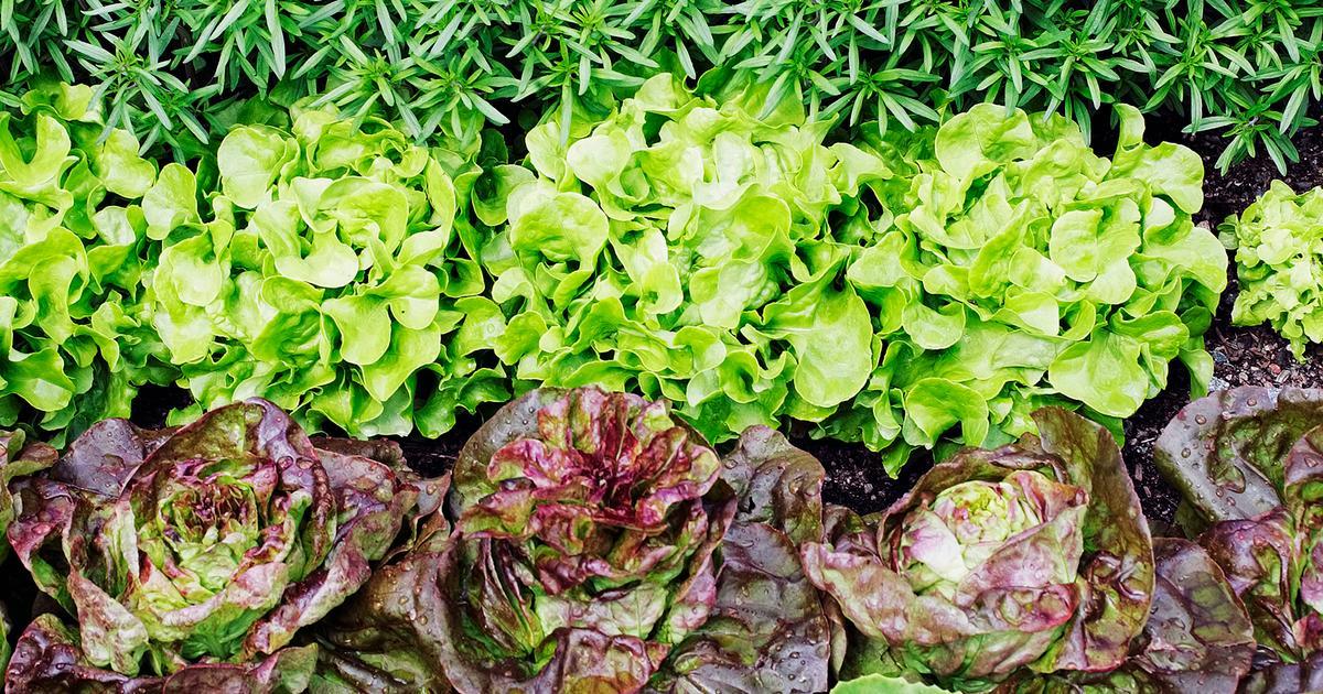 Salaatti Kasvatus