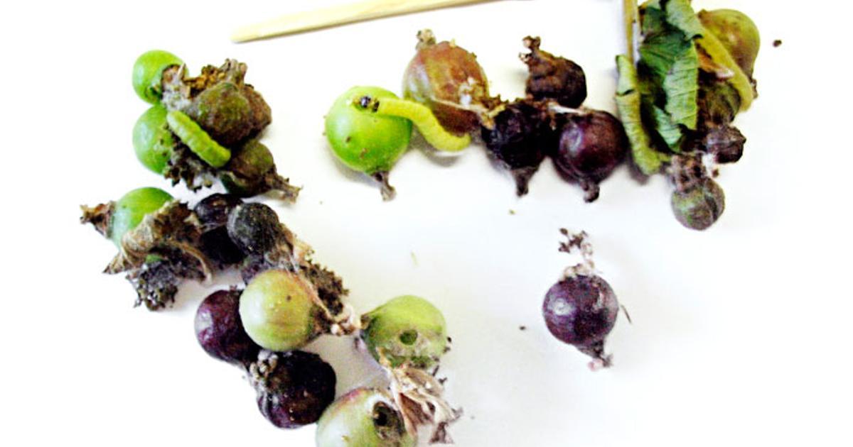 Vihreä Toukka Syö Lehdet