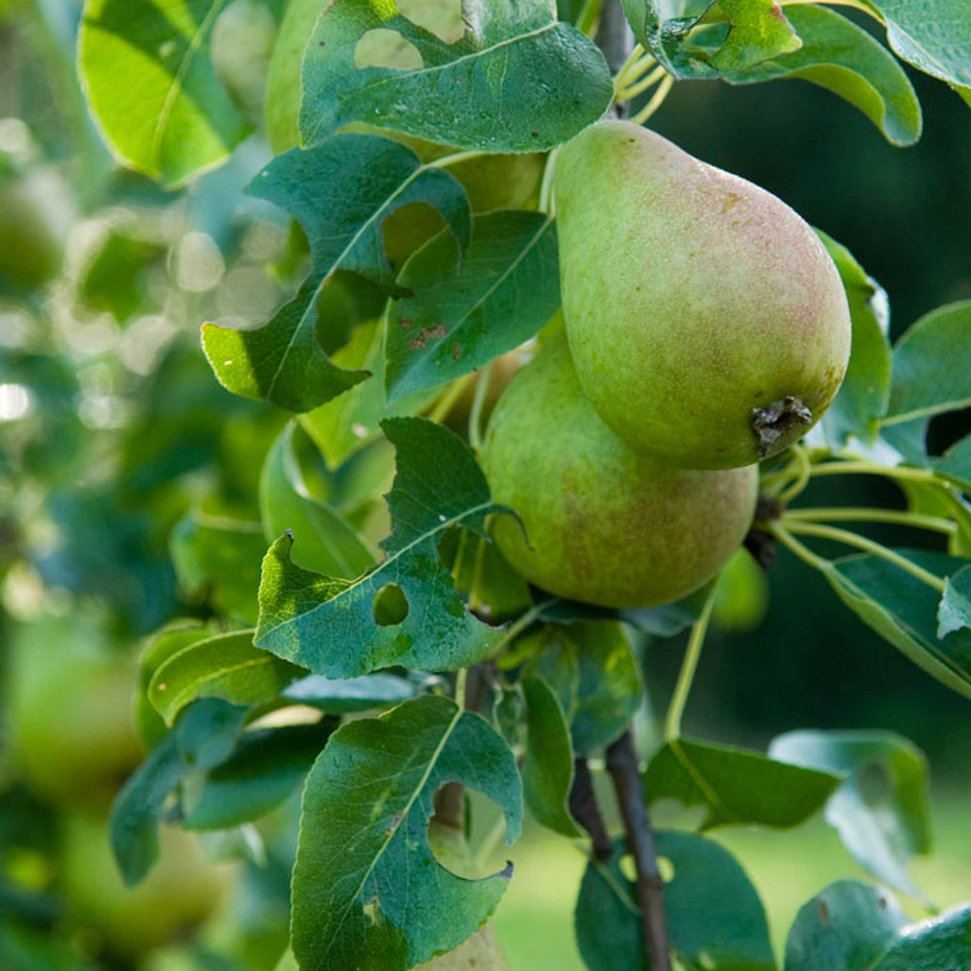 Omenapuun Hoito